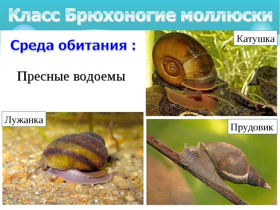 Пресные водоемы Лужанка Прудовик Катушка