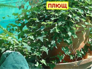 Вверх по стенке крутой, По бетонке литой Многоножка ползет, С собой листья ве
