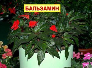 На окне зимой и летом Вечно зелен и красив. Ярко-красным цветом Горит нежно..