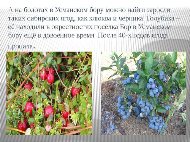 А на болотах в Усманском бору можно найти заросли таких сибирских ягод, как к...