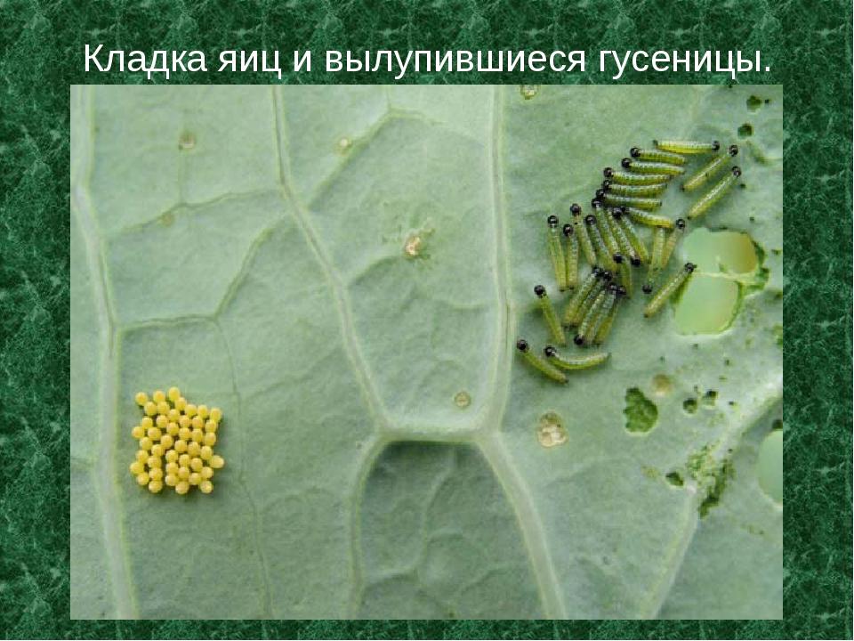 Кладка яиц и вылупившиеся гусеницы.