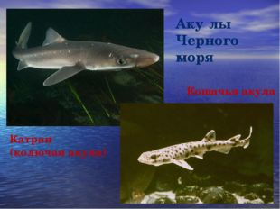 Аку́лы Черного моря Катран (колючая акула) Кошачья акула