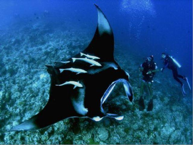 Манта (морской дьявол) самый крупный изскатов ширина 4,5 -7 м масса до 2,5...