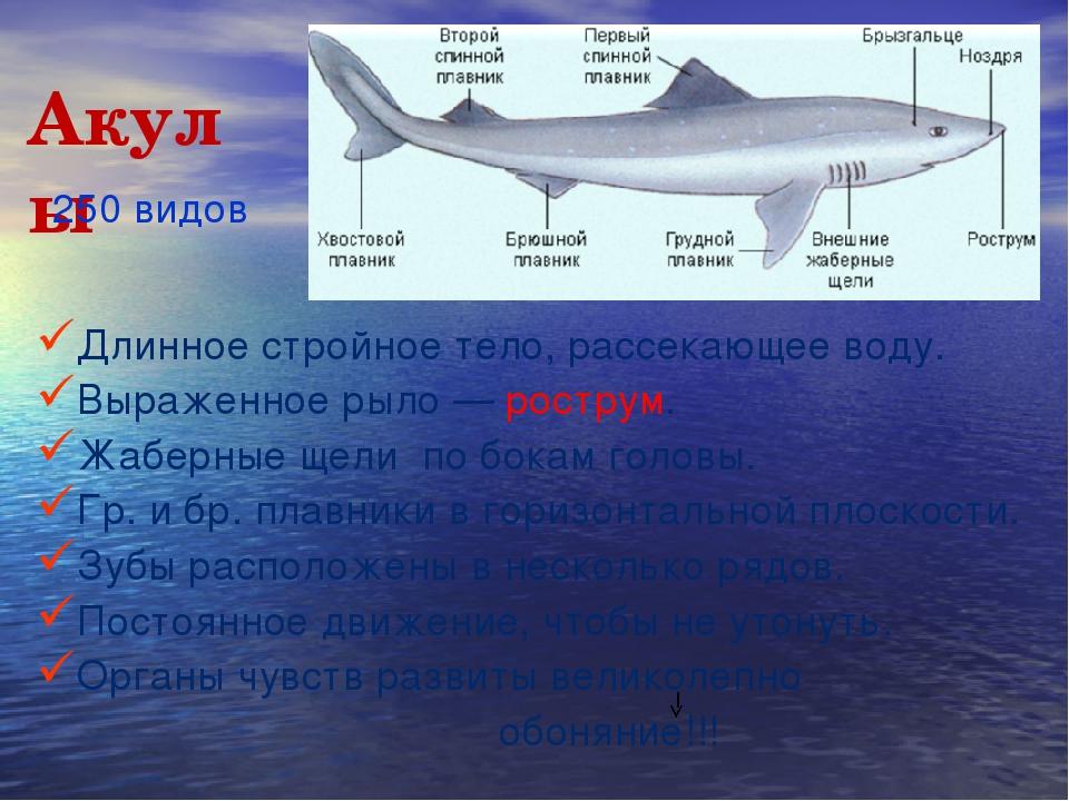 Акулы Длинное стройное тело, рассекающее воду. Выраженное рыло — рострум. Жаб...