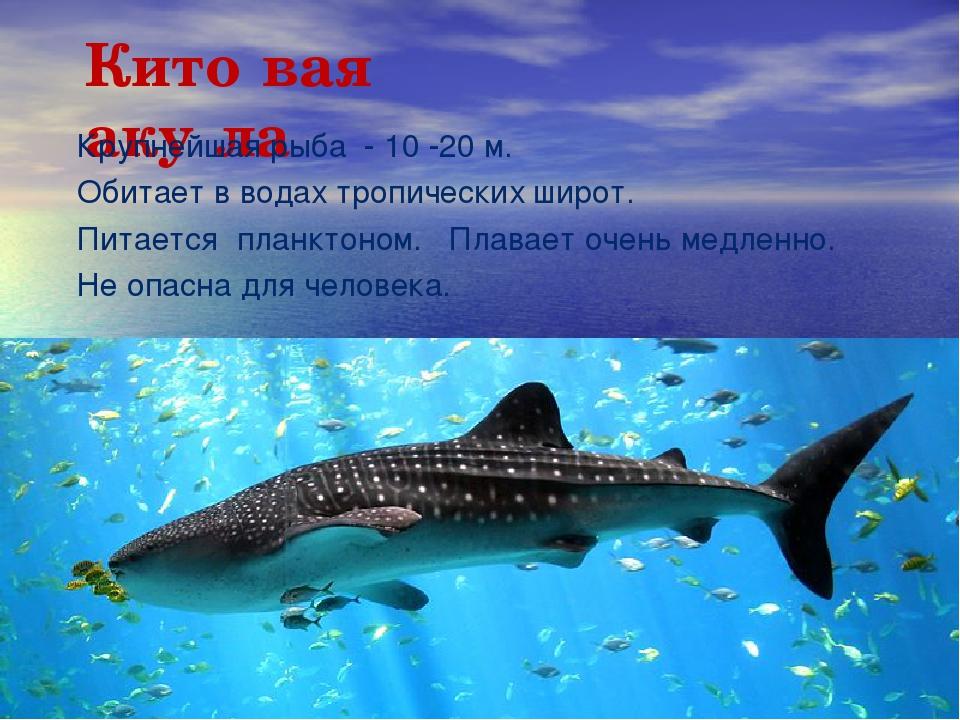 Кито́вая аку́ла Крупнейшая рыба - 10 -20м. Обитает в водах тропических широт...