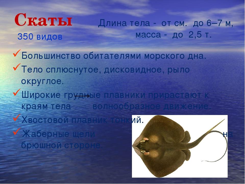 Скаты Большинство обитателями морского дна. Тело сплюснутое, дисковидное, рыл...