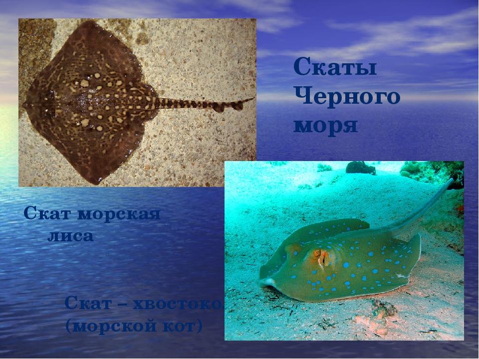 Скаты Черного моря Скат – хвостокол (морской кот) Скат морская лиса