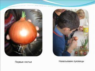 Накалываем луковицы Первые листья
