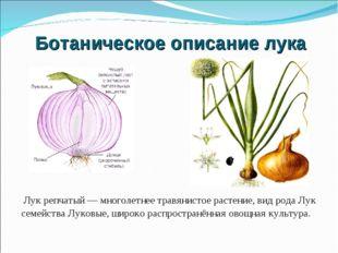 Лук репчатый — многолетнее травянистое растение, вид рода Лук семейства Луко