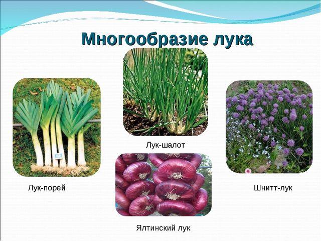 Многообразие лука Лук-порей Лук-шалот Шнитт-лук Ялтинский лук