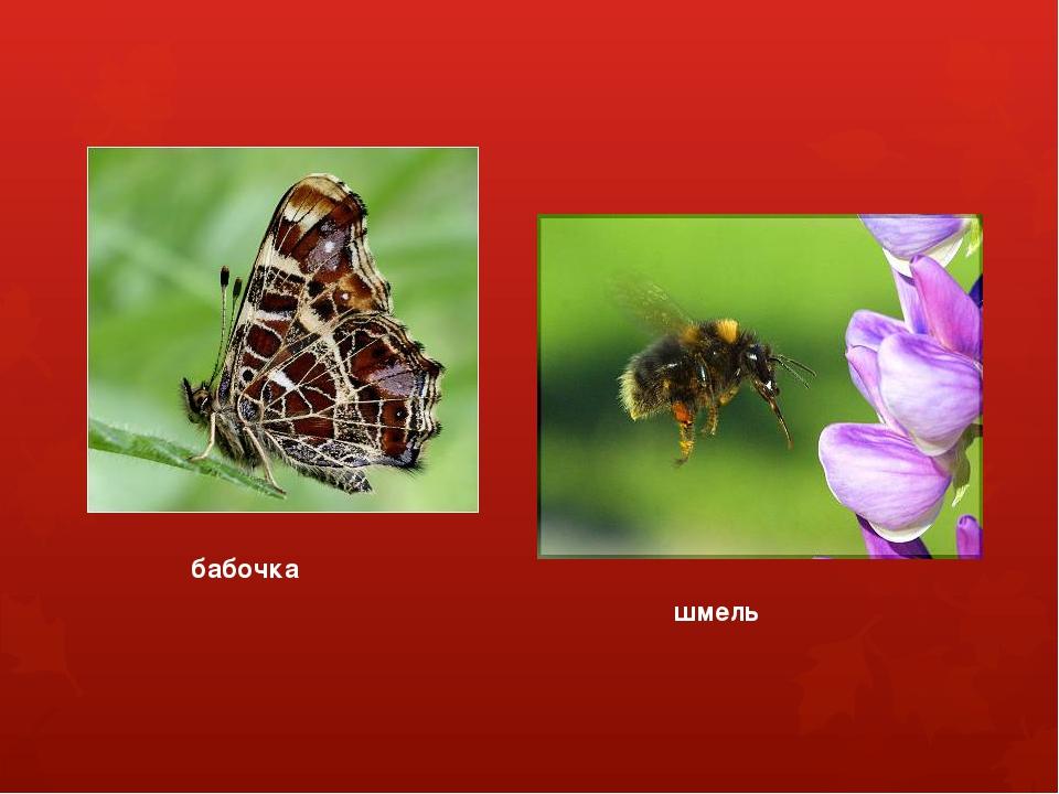 бабочка шмель