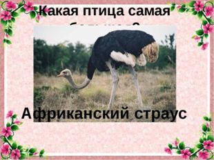 Какая птица самая большая? Африканский страус