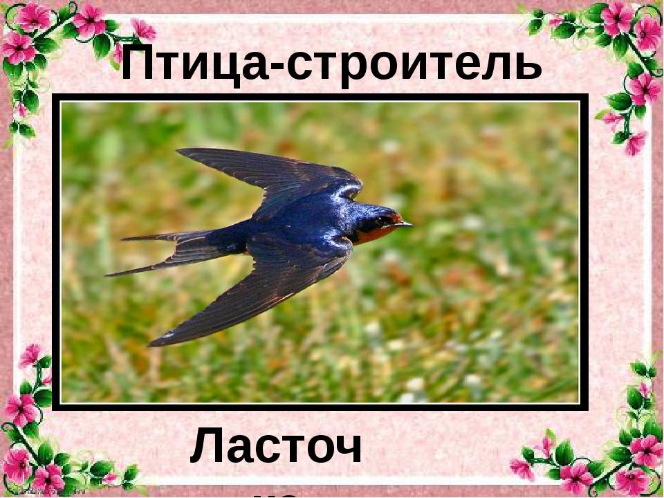 Ласточка Птица-строитель