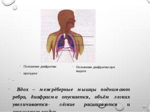 выдох . Вдох – межрёберные мышцы поднимают ребра, диафрагма опускается, объём