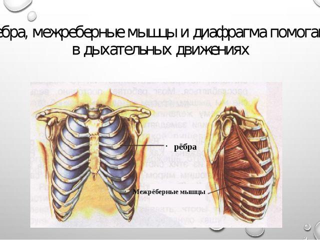 Ребра, межреберные мышцы и диафрагма помогают в дыхательных движениях Межрёбе...
