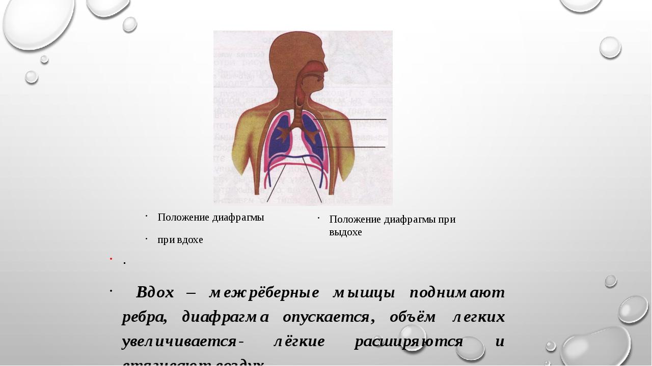 выдох . Вдох – межрёберные мышцы поднимают ребра, диафрагма опускается, объём...