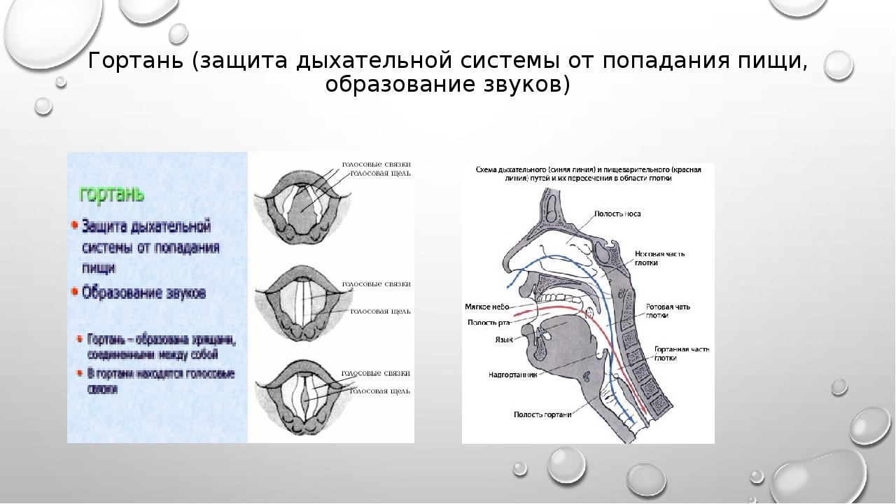 Гортань (защита дыхательной системы от попадания пищи, образование звуков)