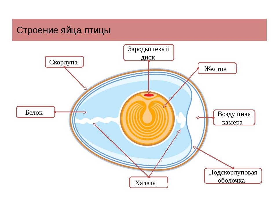 Назовите элементы строения яйца