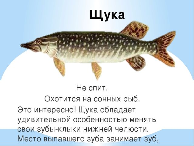 Щука Не спит. Охотится на сонных рыб. Это интересно! Щука обладает удивительн...