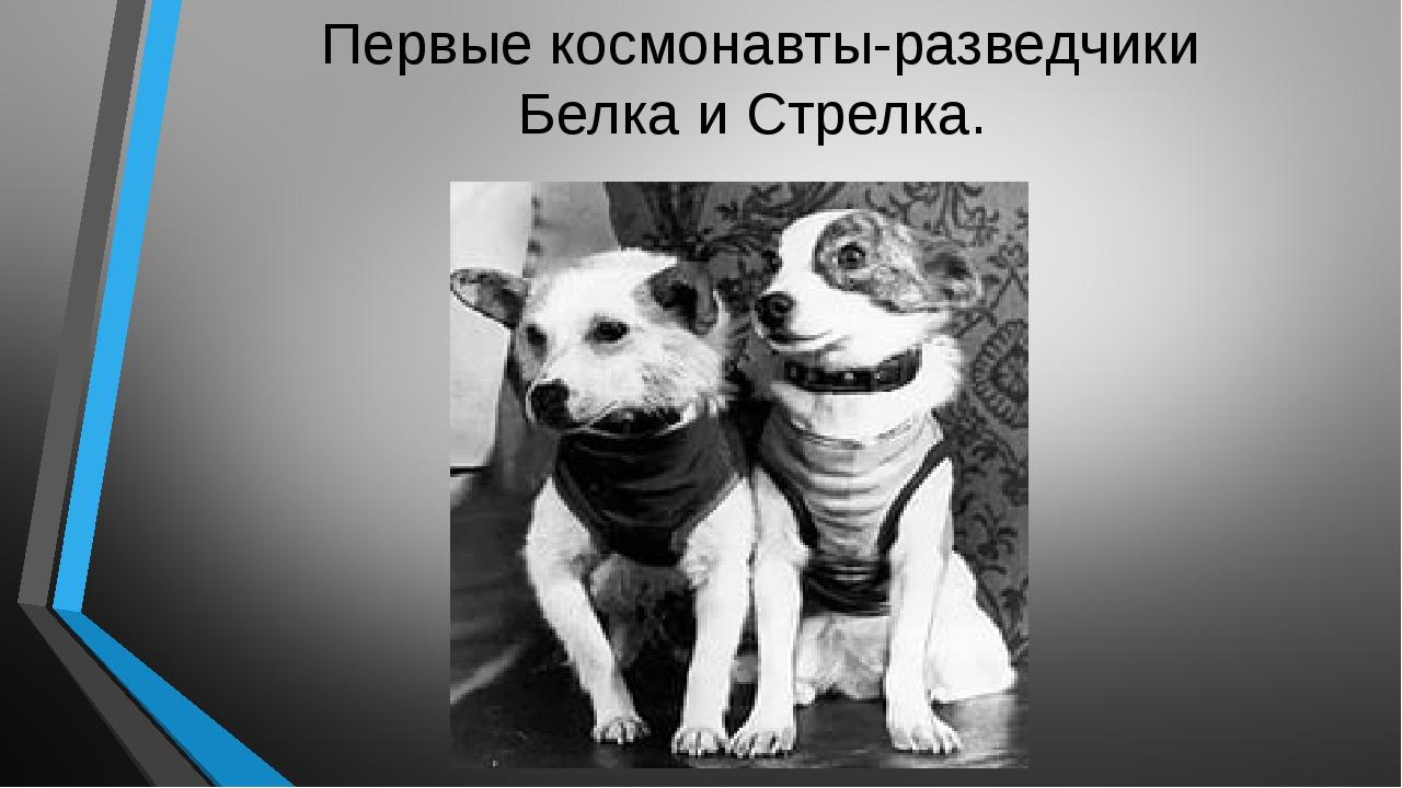 Первые космонавты-разведчики Белка и Стрелка.