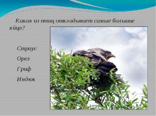 Какая из птиц откладывает самые большие яйца? Страус Орел Гриф Индюк