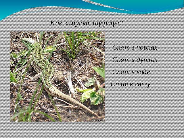 Как зимуют ящерицы? Спят в норках Спят в дуплах Спят в воде Спят в снегу