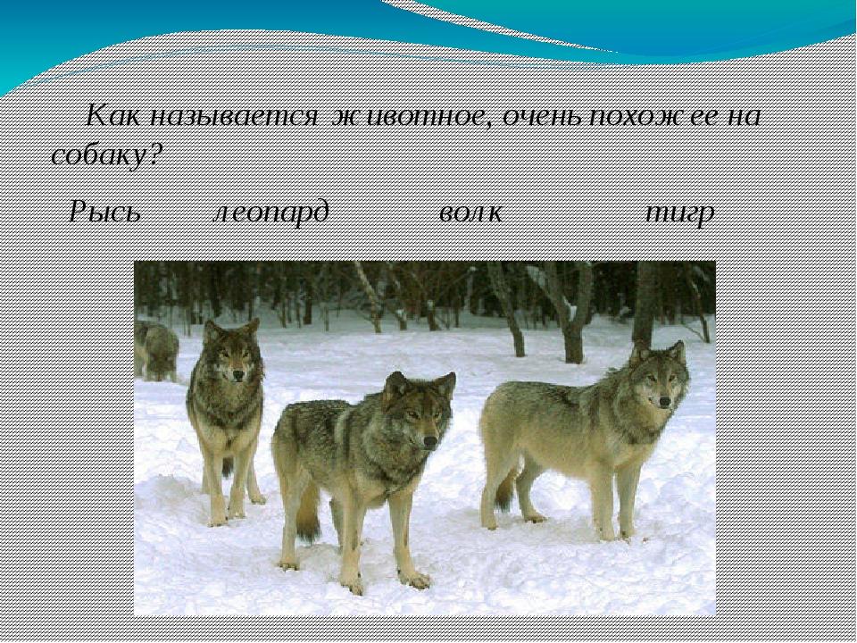Как называется животное, очень похожее на собаку? Рысь леопард волк тигр
