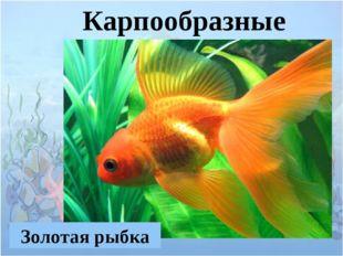 Карпообразные Золотая рыбка