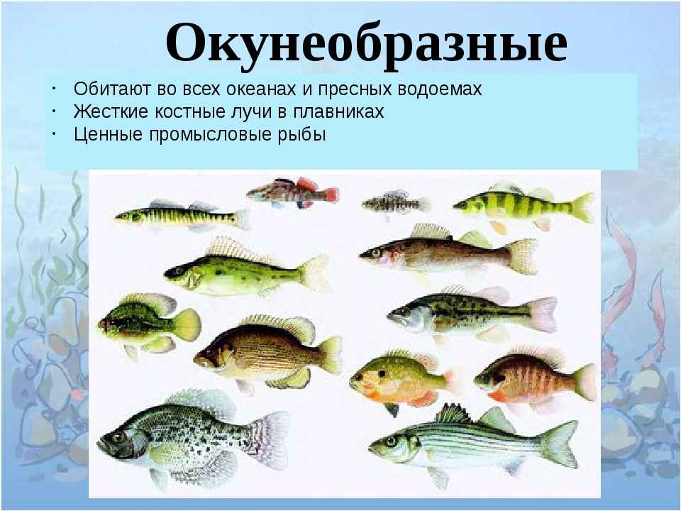 Окунеобразные Обитают во всех океанах и пресных водоемах Жесткие костные луч...