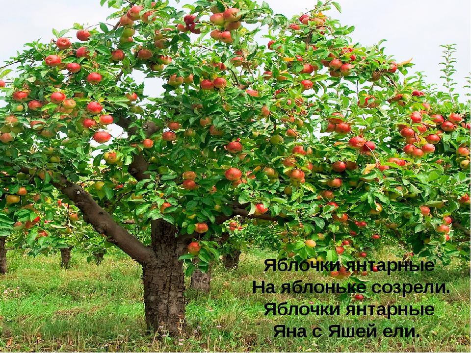Яблочки янтарные На яблоньке созрели. Яблочки янтарные Яна с Яшей ели.