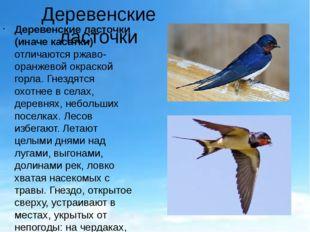 Деревенские ласточки Деревенские ласточки (иначе касатки) отличаются ржаво-ор