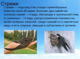 Стрижи Стрижи́— подотряд птиц отряда стрижеобразных. Известно около 80 видов