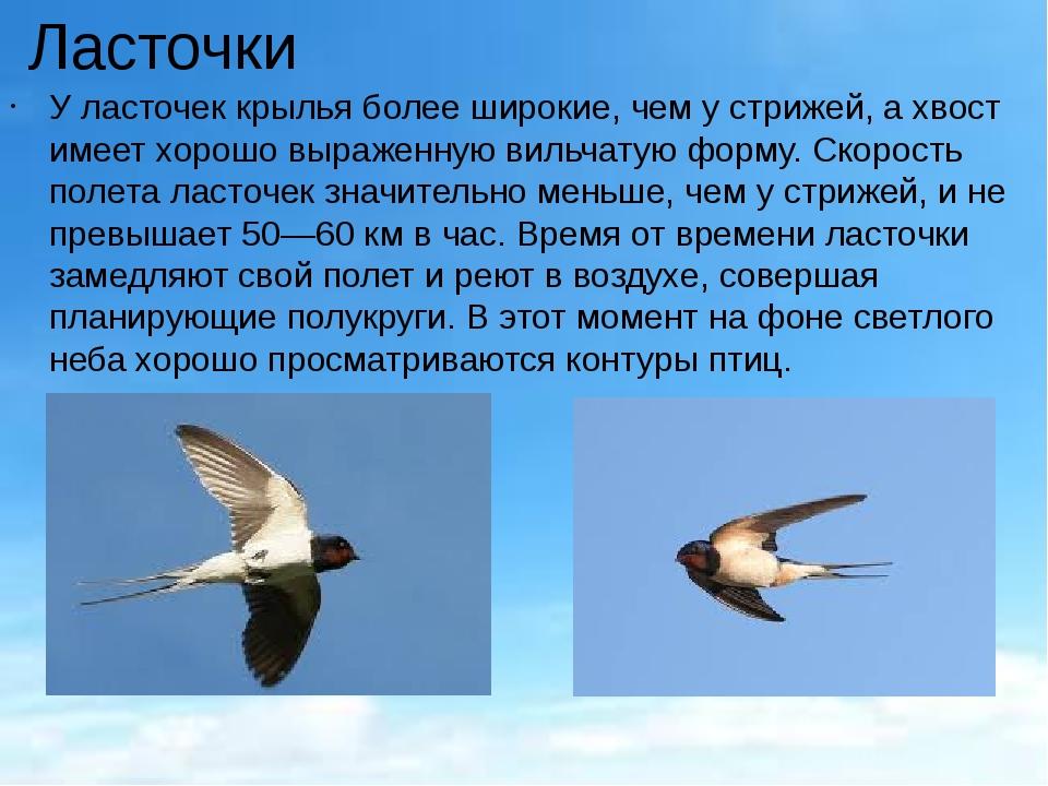 Ласточки У ласточек крылья более широкие, чем у стрижей, а хвост имеет хорошо...