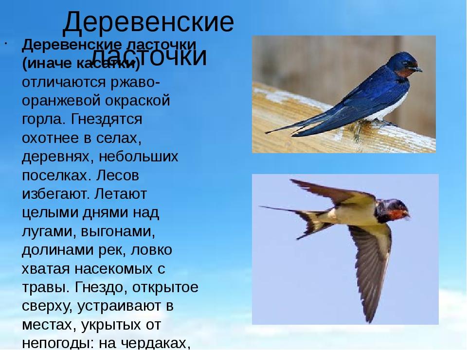 Деревенские ласточки Деревенские ласточки (иначе касатки) отличаются ржаво-ор...