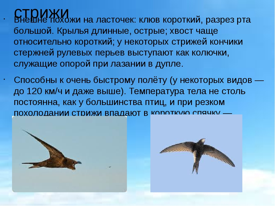 стрижи Внешне похожи наласточек: клюв короткий, разрез рта большой. Крылья д...