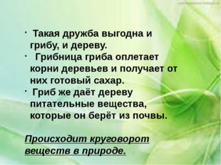 Такая дружба выгодна и грибу, и дереву. Грибница гриба оплетает корни деревь