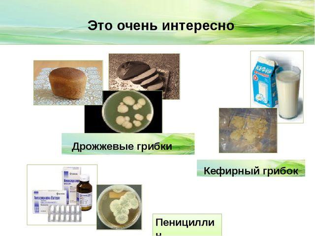 Это очень интересно Дрожжевые грибки Кефирный грибок Пенициллин