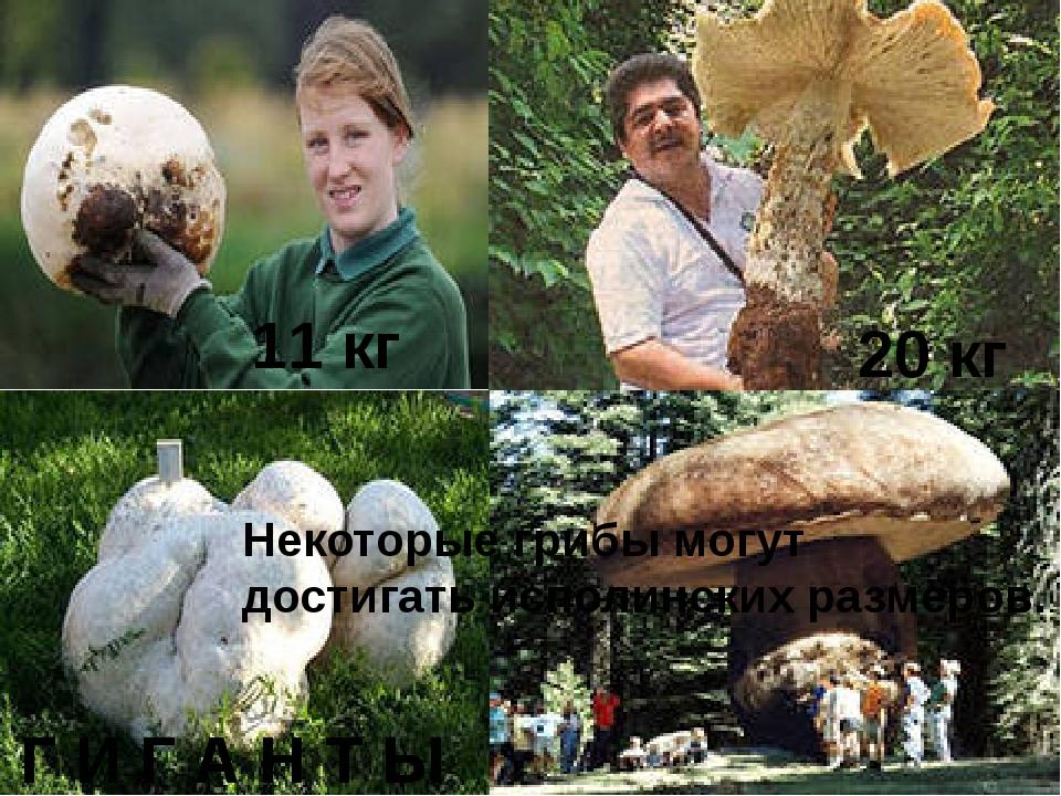 20 кг Г И Г А Н Т Ы 11 кг Некоторые грибы могут достигать исполинских размер...