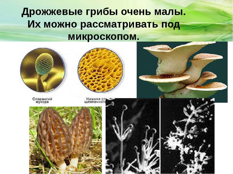 Дрожжевые грибы очень малы. Их можно рассматривать под микроскопом.
