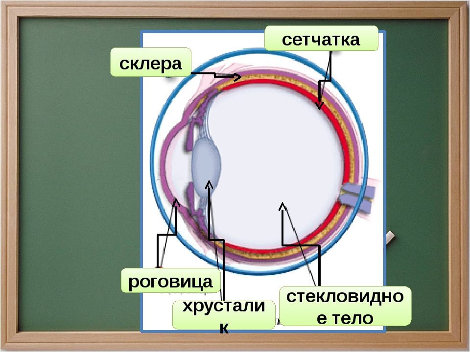 сетчатка склера роговица хрусталик стекловидное тело
