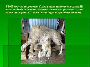 В 2007 году на территории Урала нашли мамонтенка-самку. Её назвали Люба. Изуч