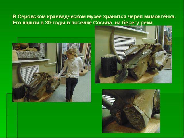 В Серовском краеведческом музее хранится череп мамонтёнка. Его нашли в 30-год...