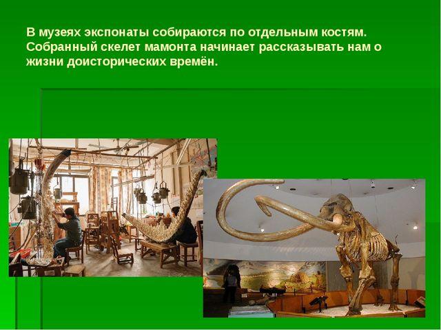 В музеях экспонаты собираются по отдельным костям. Собранный скелет мамонта н...
