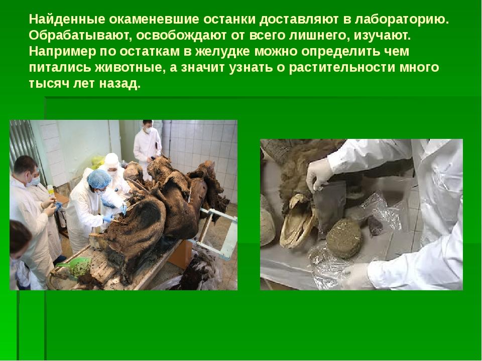 Найденные окаменевшие останки доставляют в лабораторию. Обрабатывают, освобож...