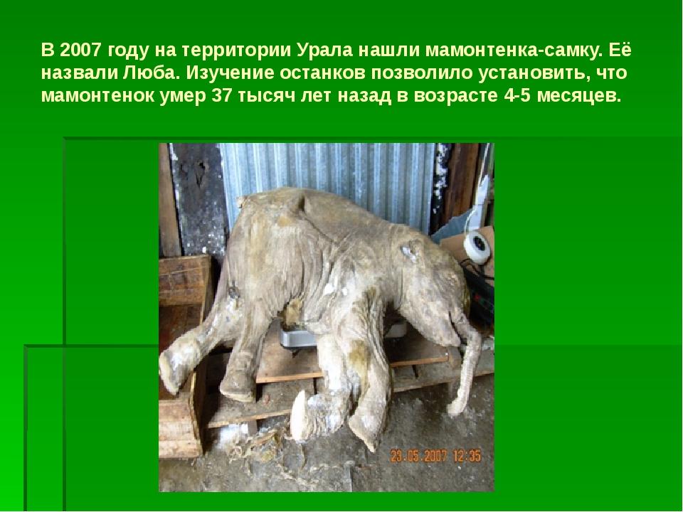 В 2007 году на территории Урала нашли мамонтенка-самку. Её назвали Люба. Изуч...