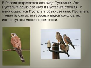В России встречается два вида Пустельги. Это Пустельга обыкновенная и Пустель
