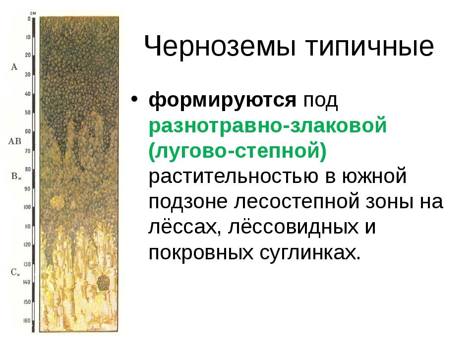 Черноземы типичные формируютсяпод разнотравно-злаковой (лугово-степной) раст...