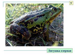 Лягушка озерная У