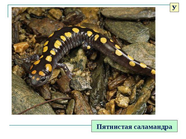Пятнистая саламандра У
