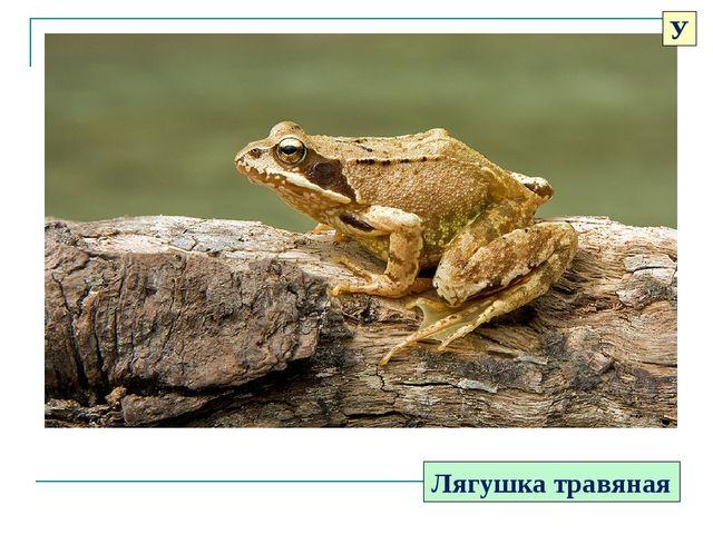 Лягушка травяная У